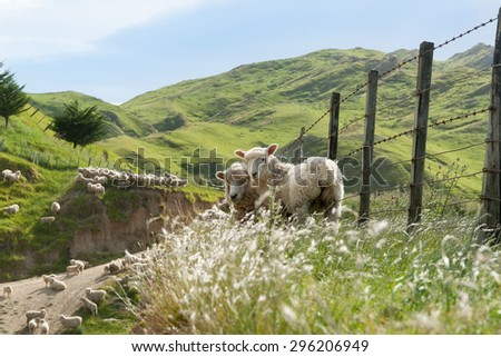 Sheep farming, New Zealand two lambs looking back on fence line in hill country farm - stock photo