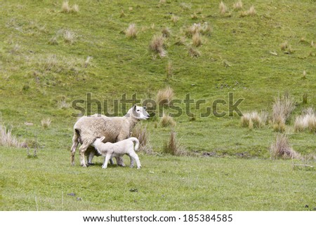 Sheep feeding her lamb - stock photo