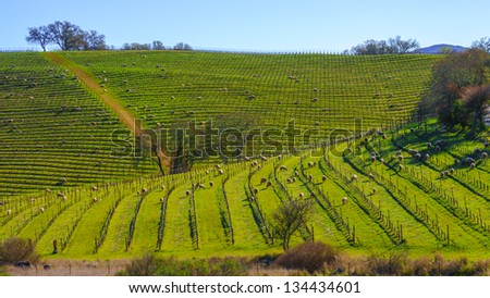 Sheep feeding in a vineyard in Napa, California, USA - stock photo