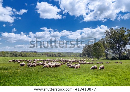 Sheep flock on green field in Tuscany (Italy)