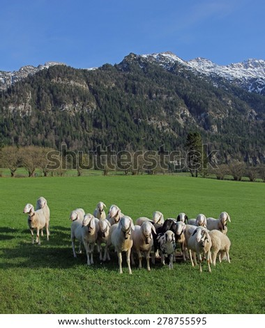 sheep flock on the meadow, alpine landscape, germany - stock photo