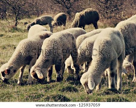 sheep flock, sheeps grazing - stock photo