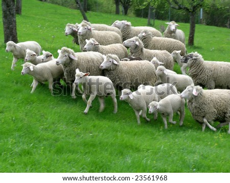 sheep flock with lamp running - stock photo