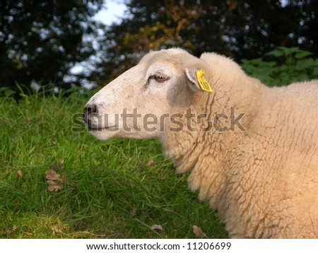 Sheep foraging on a dike - stock photo