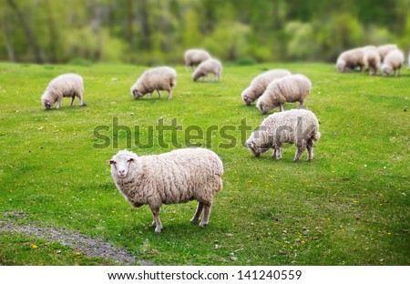 Sheep graze in the meadow near the forest - stock photo