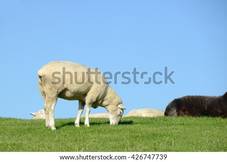 sheep graze on meadow in front of blue sky