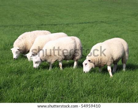 Sheep Grazing - stock photo