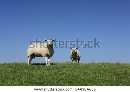 Sheep grazing along a Dutch dike