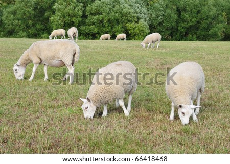 Sheep Grazing in a Green Field - stock photo