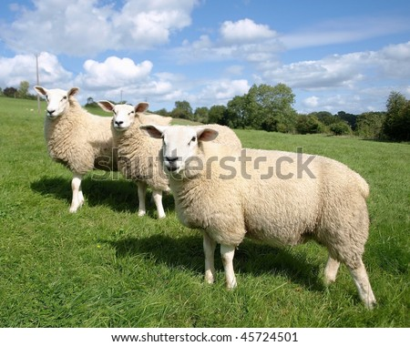Sheep Grazing in a Green Meadow - stock photo