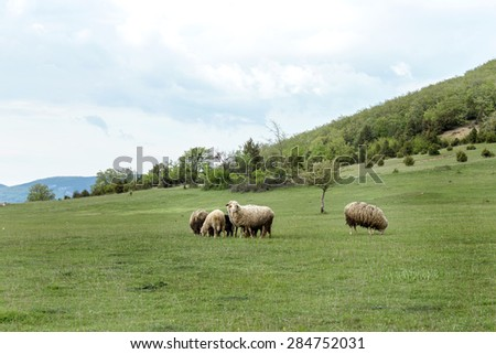Sheep grazing in a mountain valley in the pasture on a background of Crimean mountains. - stock photo