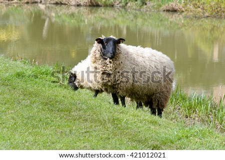 Sheep grazing in field in English countryside