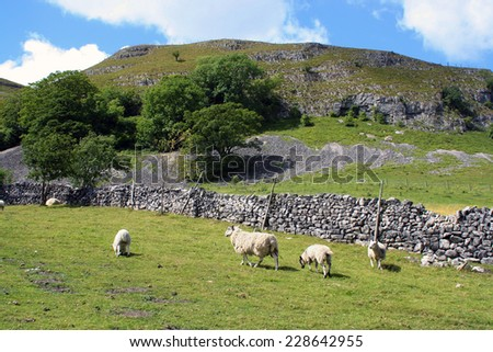 Sheep grazing in field in the Yorkshire Dales - stock photo