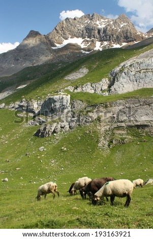sheep grazing in French Pyrenees  - stock photo