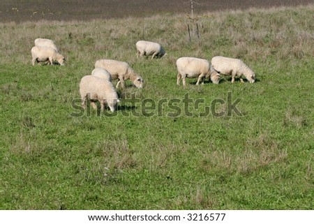 sheep grazing in green paddock / field