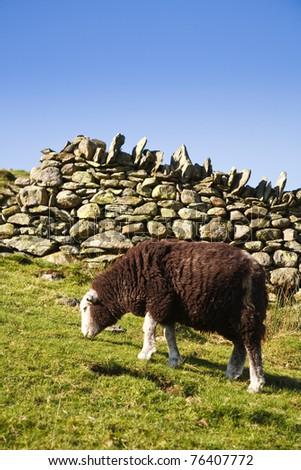 Sheep grazing in pasture - stock photo