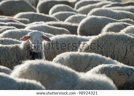 Sheep grazing in the field in a sunny day. - stock photo