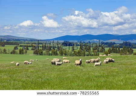 Sheep grazing in the fields of New Zealand - stock photo