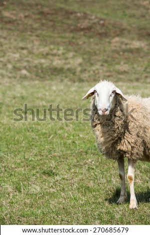 Sheep grazing on a green pasture; organic breeding concept.  - stock photo