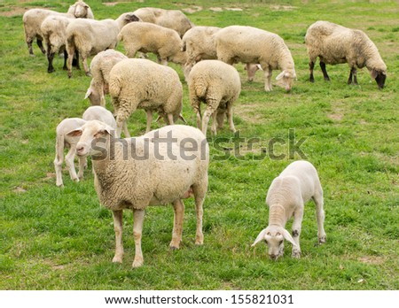 Sheep grazing on grass land - stock photo