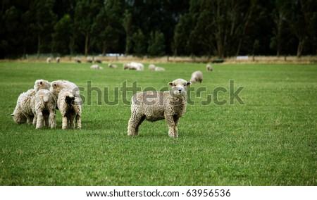 sheep grazing on green meadow - stock photo