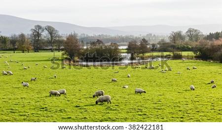Sheep grazing on green pasture in Ireland - stock photo