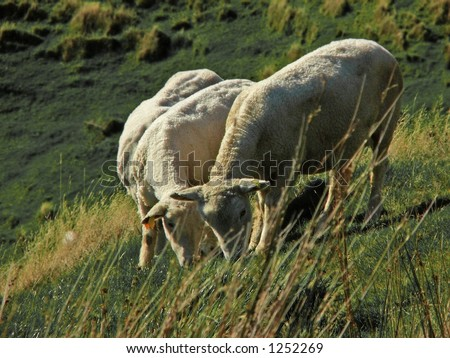 sheep grazing on hillside