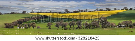 Sheep grazing on lush green pastures alongside fields of golden yellow crops of flowering canola.