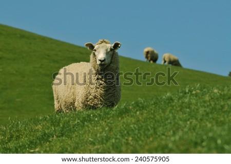 Sheep grazing on meadow - stock photo