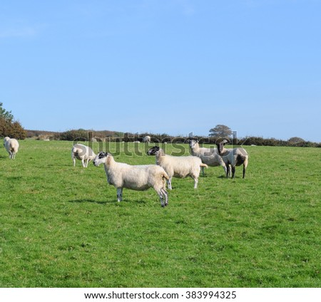 Sheep Grazing on Moorland near Tarr Steps within Exmoor National Park, Somerset,England, UK - stock photo