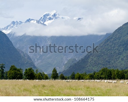 Sheep grazing on West Coast with Aoraki, Mount Cook, highest peak of Southern Alps, vista backdrop forming an iconic New Zealand landscape - stock photo