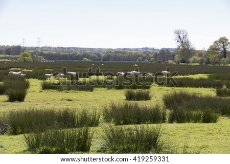 Sheep grazing peacefully on the green field marsh swamp - stock photo