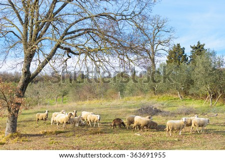 Sheep grazing under green olive trees in Italy.