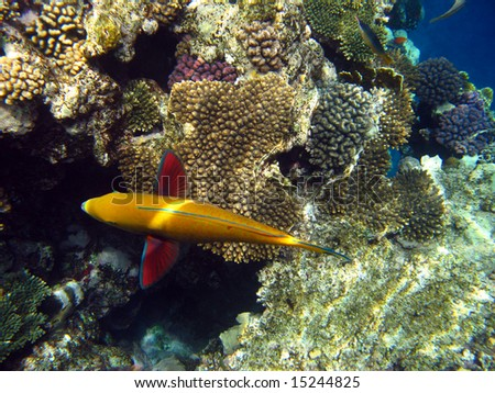 Sheep-head parrot fish and coral reef