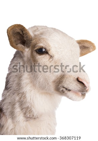 Sheep head shot isolated - stock photo