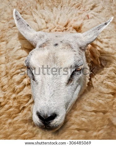 Sheep head surrounded by wool - stock photo