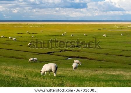Sheep herd on Mando island in Denmark - stock photo