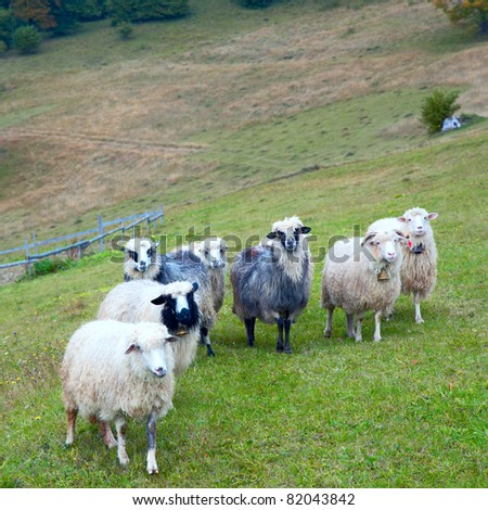 Sheep herd on mountain plateau pasture (Carpathian mountain, Ukraine).