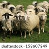 sheep herd portrait on grassland - stock photo