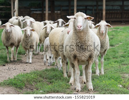 Sheep herd standing on farmland - stock photo