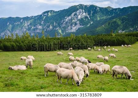 Sheep Herds At Alpine Pastures In Retezat National Park Carpathians Romania