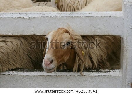 Sheep in a farm - stock photo