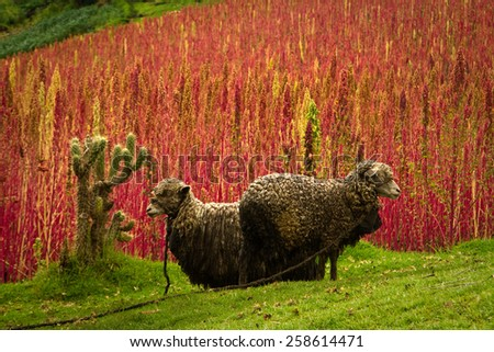 Sheep in a field next to quinoa plantations in Chimborazo, Ecuador, South America - stock photo