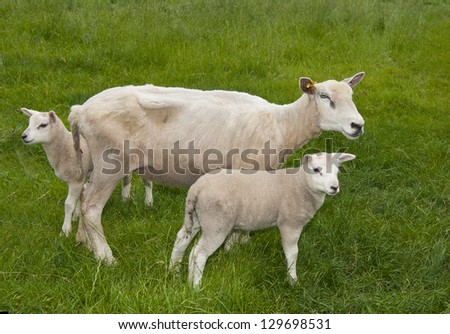 sheep in a meadow - stock photo