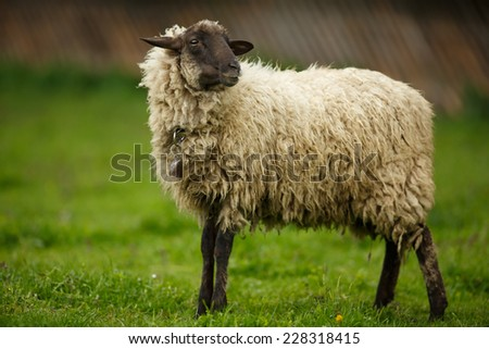 Sheep in a meadow on a farm, on pasture - stock photo