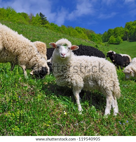 Sheep in a summer landscape. - stock photo