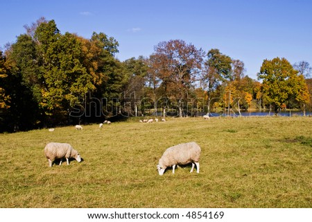 Sheep in autmn beautiful landscape