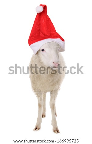 Sheep in Christmas hat. animal isolated on white background - stock photo