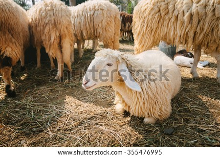 Sheep in  countryside farm,shallow Depth of Field,Focus on sheep head.  - stock photo