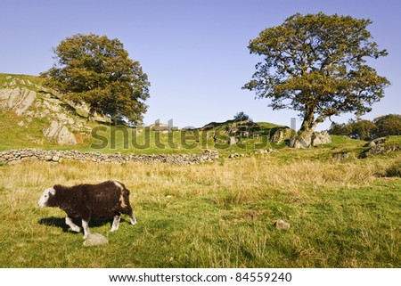 Sheep in English countryside - stock photo